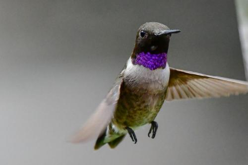Black-chinned Hummingbird1-2