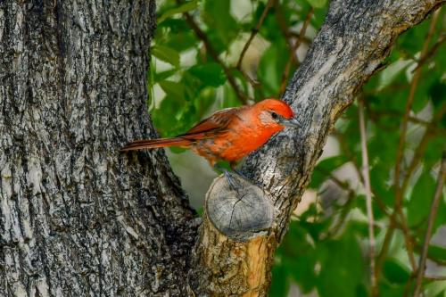 Hepatic Tanager-2