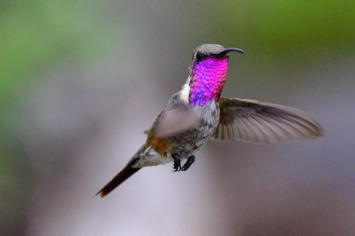 Lucifer Hummingbird2-2