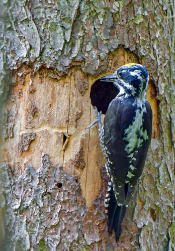 Three-toed Woodpecker2