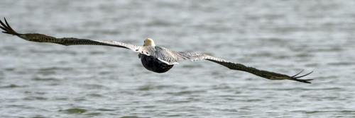Brown Pelican1