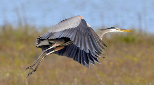 Great Blue Heron1