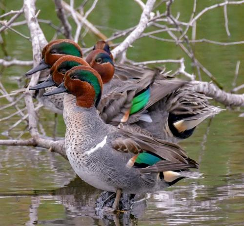 Green-winged Teal1