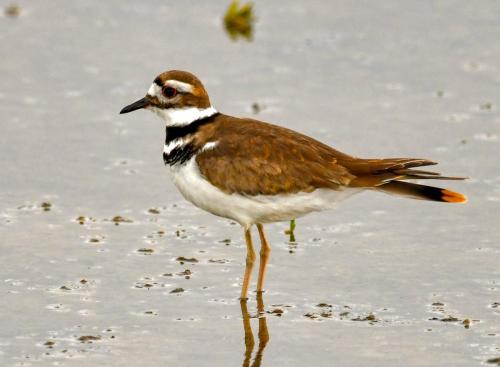 Killdeer1-2