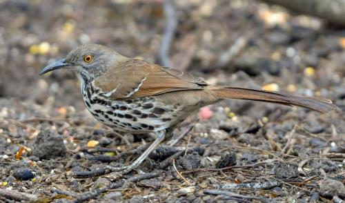 Long-billed Thrasher2