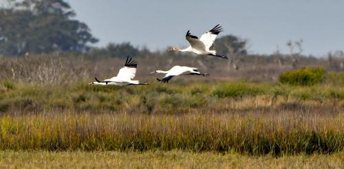 Whooping Cranes2