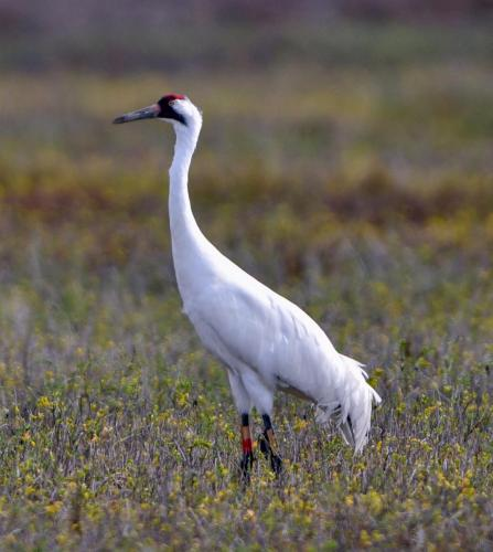 Whooping Cranes7 - Copy